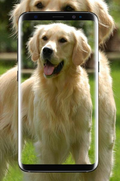 Golden Retriever Wallpaper Hd For Android Apk Download