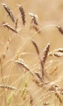 Live ears of wheat screenshot 1