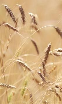 Live ears of wheat screenshot 2