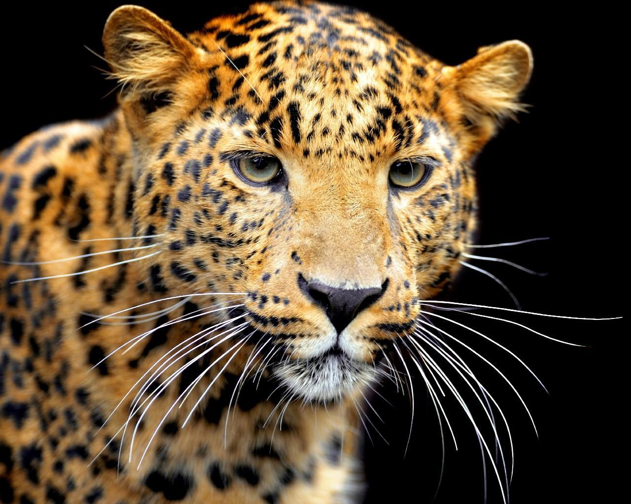 Wild Cats Wallpapers For Android Apk Download