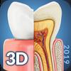 Dental  Anatomy Zeichen