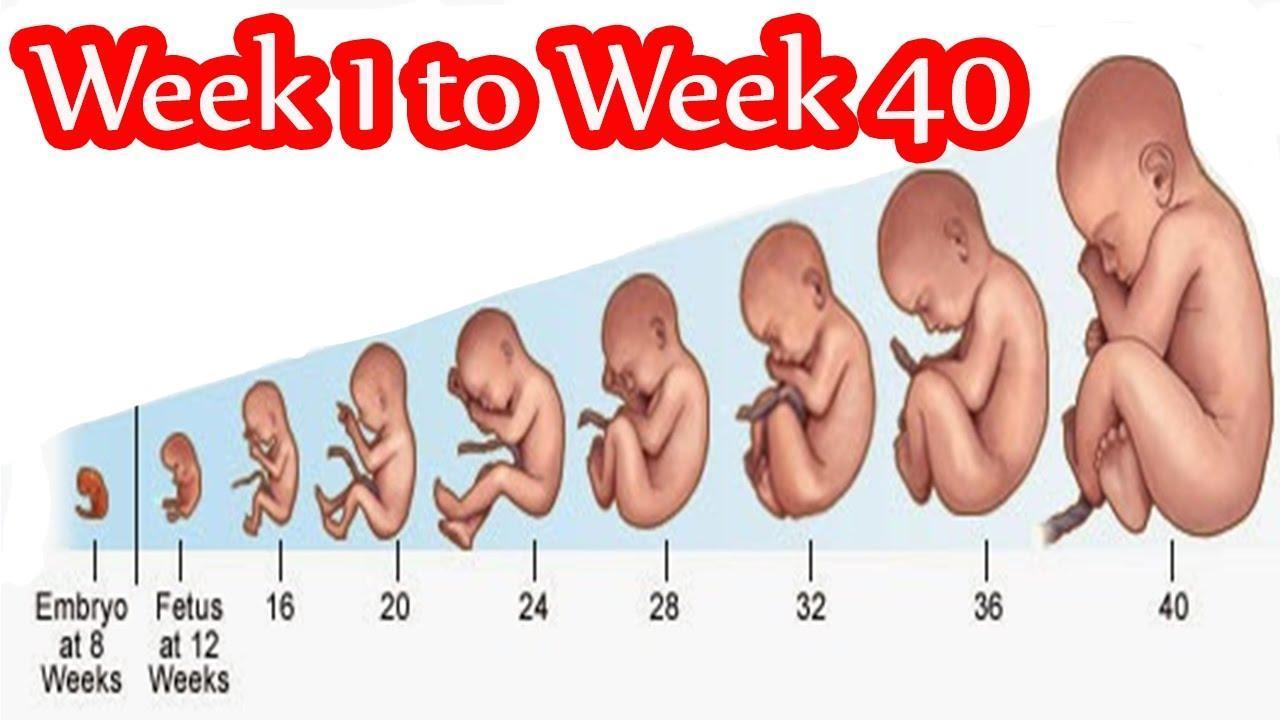 Week pregnancy week by Pregnancy week