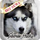 Husky Wallpaper HD APK
