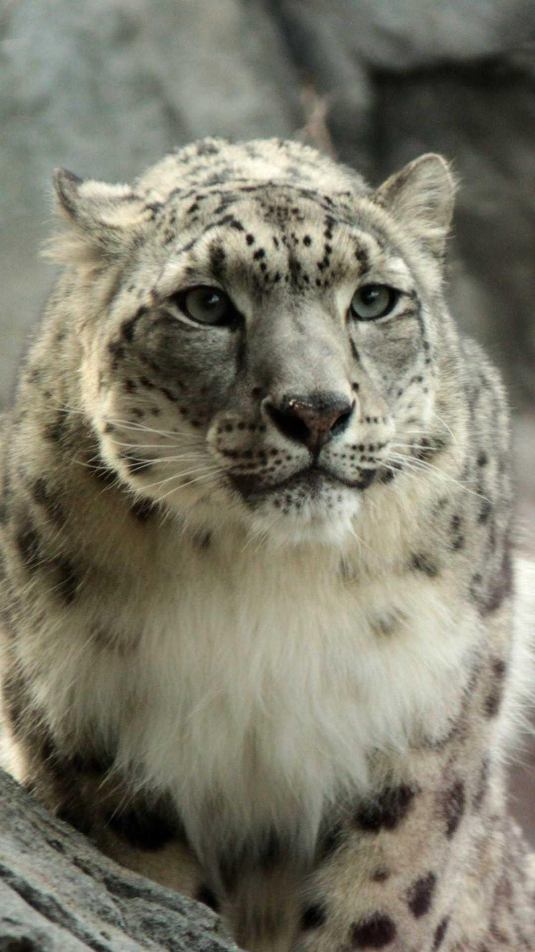 Snow Leopard Wallpapers For Android Apk Download