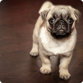 Pugs Wallpapers icon