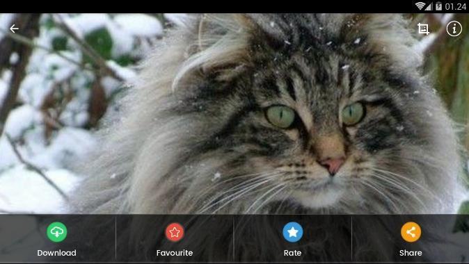 Wallpaper Kucing Hutan Norwegia For Android Apk Download