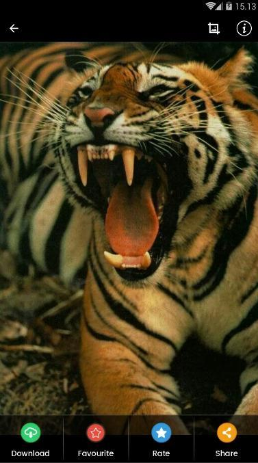 Angry Tiger Wallpaper For Android Apk Download