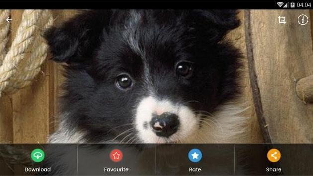 Border Collie Puppies Wallpaper screenshot 11