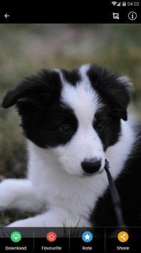 Border Collie Puppies Wallpaper screenshot 7