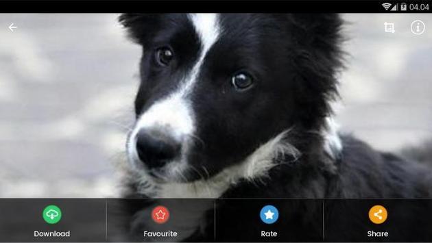Border Collie Puppies Wallpaper screenshot 8