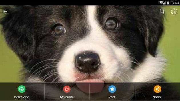 Border Collie Puppies Wallpaper screenshot 9