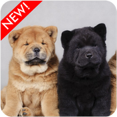 Chow Chow Puppies Wallpaper icon