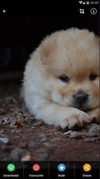 Chow Chow Puppies Wallpaper screenshot 3
