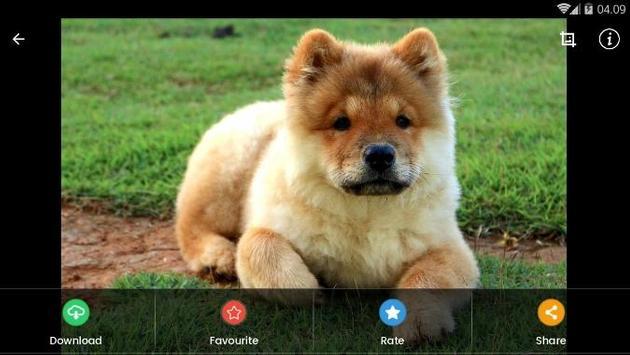 Chow Chow Puppies Wallpaper screenshot 11