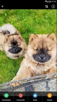 Chow Chow Puppies Wallpaper screenshot 4