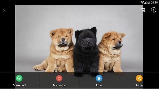 Chow Chow Puppies Wallpaper screenshot 8
