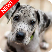 Great Dane Puppies Wallpaper icon