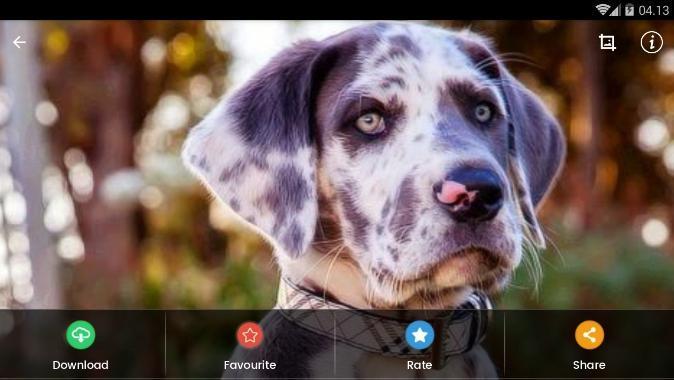 Fond D Ecran Chiot Dogue Allemand Pour Android Telechargez L Apk