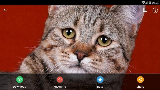 Pixie-Bob Cat Wallpaper for Android - APK Download