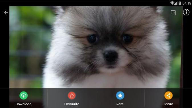 Pomeranian Puppies Wallpaper for Android - APK Download
