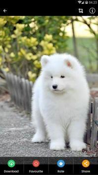Samoyed Puppies Wallpaper screenshot 3