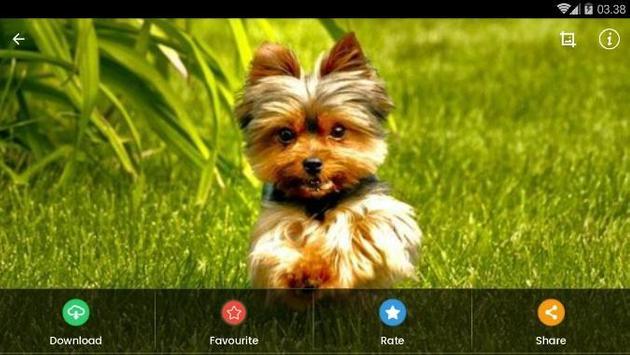 Yorkshire Puppies Wallpaper screenshot 10