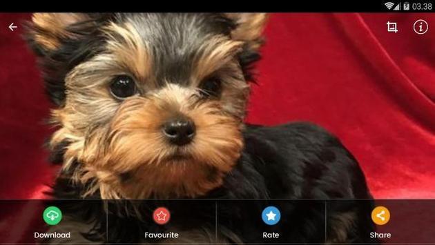 Yorkshire Puppies Wallpaper screenshot 11