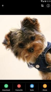 Yorkshire Puppies Wallpaper screenshot 4