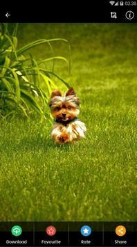 Yorkshire Puppies Wallpaper screenshot 7