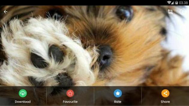 Yorkshire Puppies Wallpaper screenshot 8