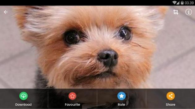 Yorkshire Puppies Wallpaper screenshot 9