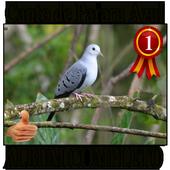 Canto Pararu Azul completo album canto de pássaros icon