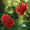 Red Rose biểu tượng