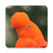 Peru Bird Sound Collections ~ Sclip.app icon