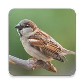 Sparrow Bird Sound Collections ~ Sclip.app icon