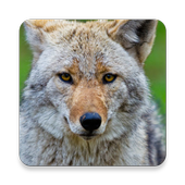 Coywolf Sound Collections ~ Sclip.app icon