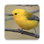 Warbler Bird Sound Collections ~ Sclip.app icon