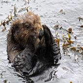 Sea Otter Sound icon