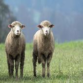 Sheep Sound icon
