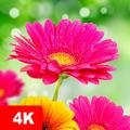 Flower Wallpapers 4K