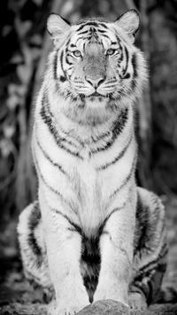 White Tiger Live Wallpaper poster