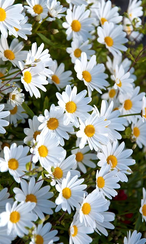 Daisies Hd Wallpaper Background For Android Apk Download